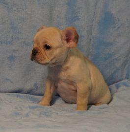 French Bulldog puppies Image 14