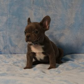 French Bulldog puppies Image 8