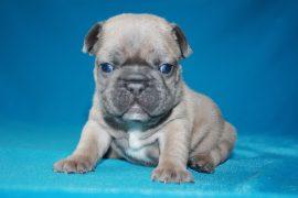 French Bulldog puppies Image 1