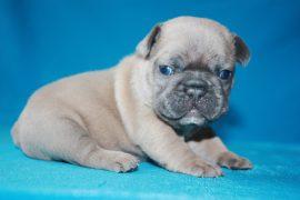 French Bulldog puppies Image 4