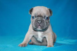 French Bulldog puppies Image 6