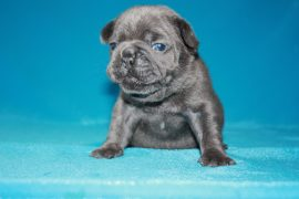 French Bulldog puppies Image 17