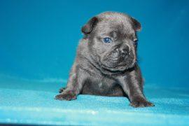 French Bulldog puppies Image 16