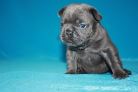 French Bulldog puppies Image 19