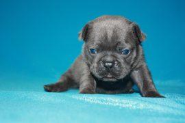 French Bulldog puppies Image 20